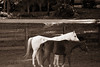 Black & White Horses in a Black & White Photo